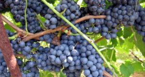 Северный виноград